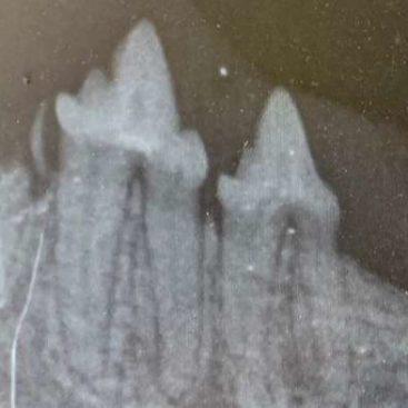 Zahnröntgen - Tierarzt blu beethoven